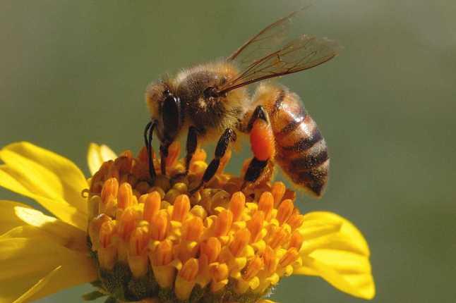 honeybee_genehanson